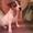 Продам замечательных Джек Рассел терьер #339498