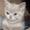 Продаются  вислоухие котята #1279659
