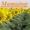 Насіння соняшнику Матадор  #1509172