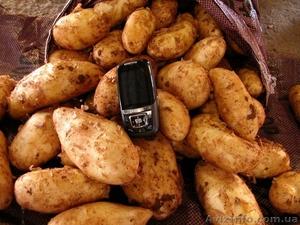 Новый картофель - Изображение #1, Объявление #260086