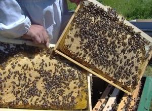 пчелопакеты карника - Изображение #1, Объявление #1052930