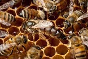 пчелопакеты карника - Изображение #2, Объявление #1052930