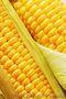 Продам оптом посевной материал кукурузы