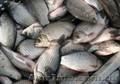 рыба сушонная и жывая - Изображение #6, Объявление #1079332