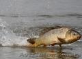рыба сушонная и жывая - Изображение #4, Объявление #1079332