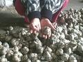 продам   крупный   чеснок    урожая    этого    года